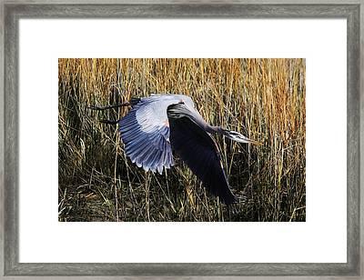 Great Blue Heron Flying In The Marsh Framed Print by Paulette Thomas