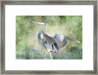 Great Blue Heron Framed Print by Francesa Miller