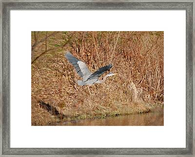 Great Blue Heron In Flight Framed Print