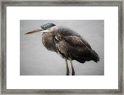 Great Blue Heron In The Marsh Framed Print by Paulette Thomas