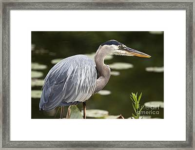 Framed Print featuring the photograph Great Blue Heron  by Jeannette Hunt