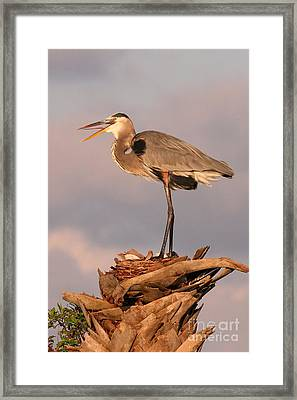 Great Blue Heron Framed Print by Jennifer Zelik