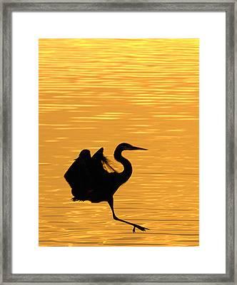 Framed Print featuring the photograph Great Blue Heron Landing In Golden Light by Randall Branham