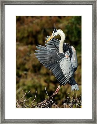 Great Blue Heron Landing Framed Print