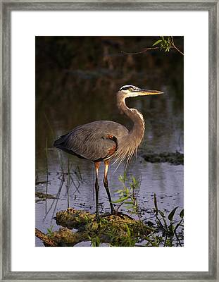 Great Blue Heron Framed Print by Natural Selection Ralph Curtin