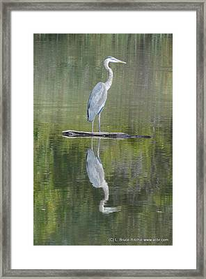 Great Blue Heron On Lake Chipican Framed Print