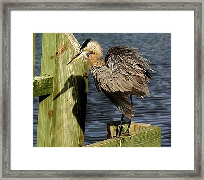 Great Blue Heron On The Block Framed Print by Paulette Thomas