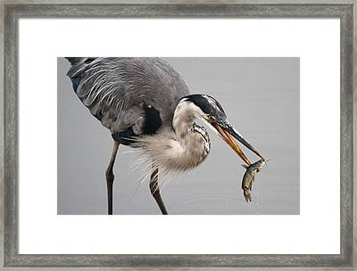 Great Blue Heron Framed Print by Paul Marto