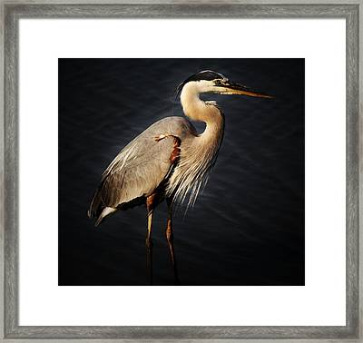 Great Blue Heron Framed Print by Paulette Thomas