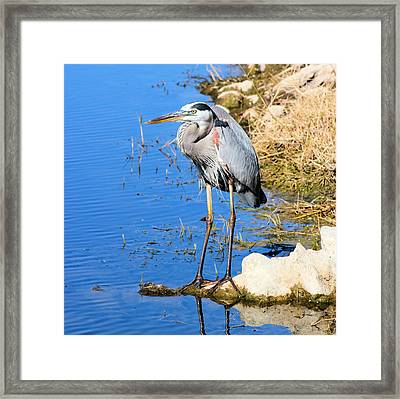 Great Blue Heron Resting Framed Print by Suzie Banks