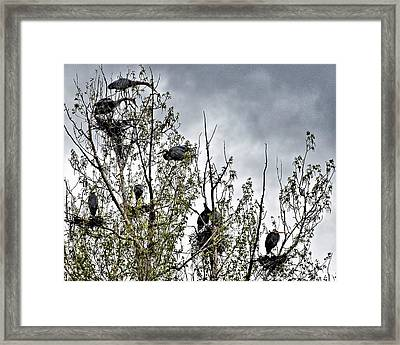 Great Blue Heron Rookery-1 Framed Print by Don Mann