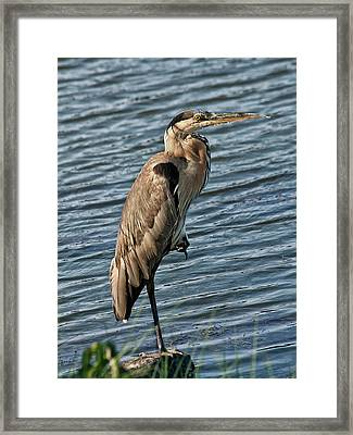 Great Blue Heron Framed Print by Sandra Anderson