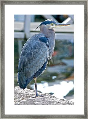 Framed Print featuring the photograph Great Blue Heron by Scott Holmes