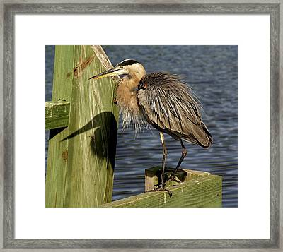 Great Blue Heron Shadow Framed Print by Paulette Thomas