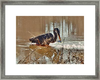 Great Blue Heron Snagging Fish - C3266h Framed Print by Paul Lyndon Phillips