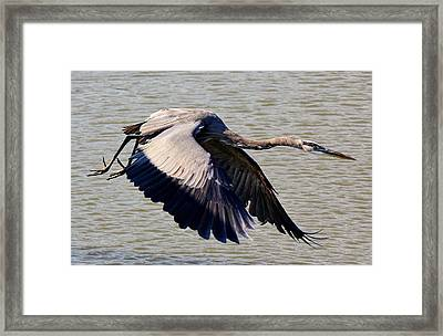 Great Blue Heron Soaring Framed Print by Paulette Thomas