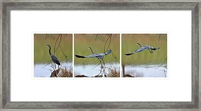 Great Blue Heron Takes Flight - T9535-7h  Framed Print by Paul Lyndon Phillips