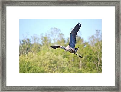 Great Blue Heron Underbelly Framed Print