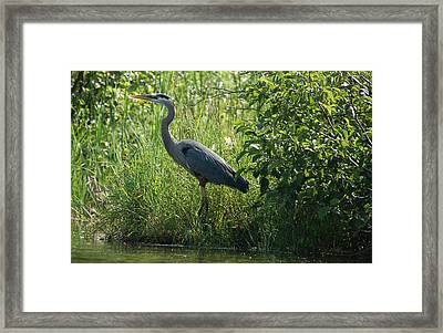 Great Blue Heron Waiting To Eat Framed Print