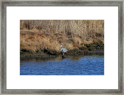 Great Blue Heron6 Framed Print