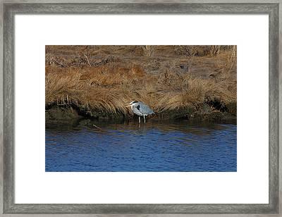 Great Blue Heron7 Framed Print