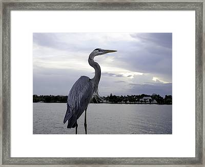 Great Blue Framed Print by Laura DAddona