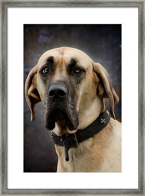 Framed Print featuring the photograph Great Dane Dog Portrait by Ethiriel  Photography