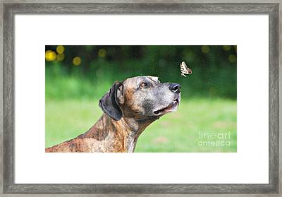 Great Dane Rufus Dagoofus With Butterfly Framed Print