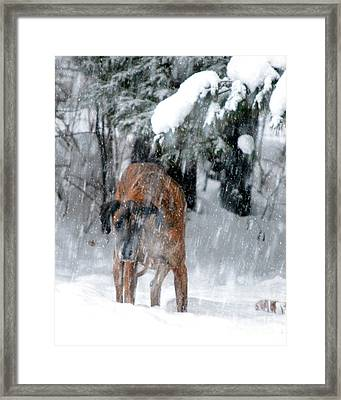 Great Dane Rufus Looking Into A Blizzard Framed Print by Lila Fisher-Wenzel