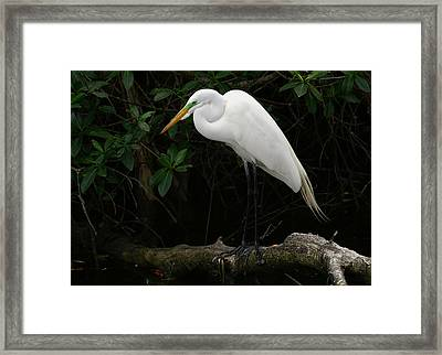 Framed Print featuring the photograph Great Egret by Anne Rodkin
