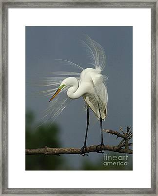 Great Egret Framed Print by Bob Christopher