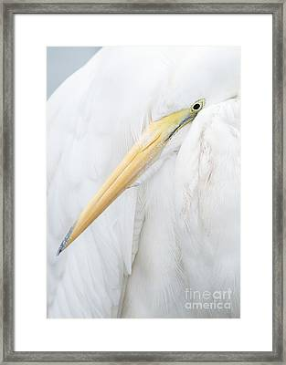 Framed Print featuring the photograph Great Egret by Doug Herr