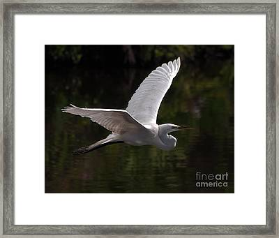 Framed Print featuring the photograph Great Egret Flying by Art Whitton