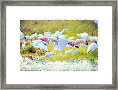 Framed Print featuring the photograph Great Egret Flying by Dan Friend