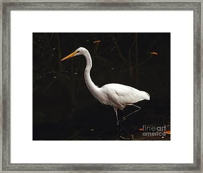 Framed Print featuring the photograph Great Egret Hunting by Art Whitton