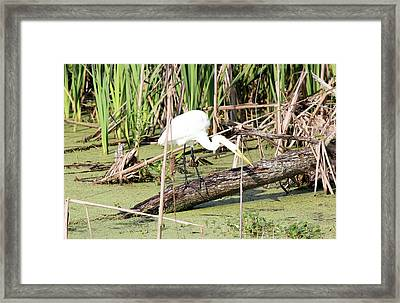Great Egret Hunting Framed Print by Suzie Banks
