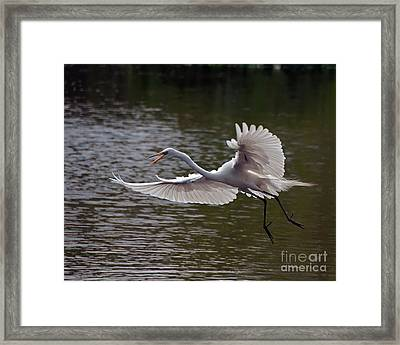 Framed Print featuring the photograph Great Egret In Flight by Art Whitton