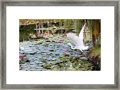 Great Egret In Flight Framed Print by Suzie Banks