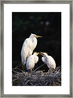 Great Egret In Nest With Young Framed Print