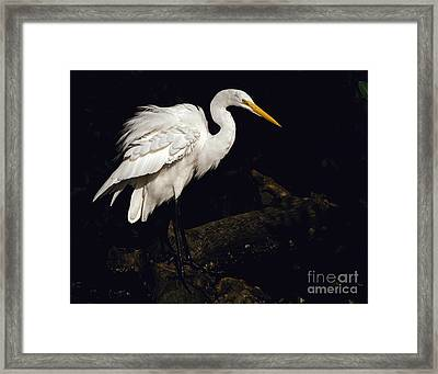 Framed Print featuring the photograph Great Egret Ruffles His Feathers by Art Whitton