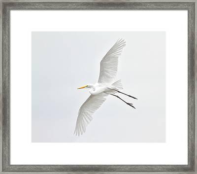 Great Egret Taking Off Framed Print