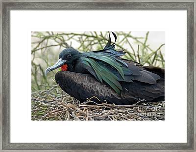 Great Frigate Bird Framed Print by Sami Sarkis