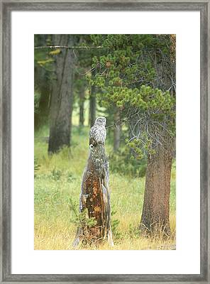 Great Gray Owl On Tree Stump Framed Print