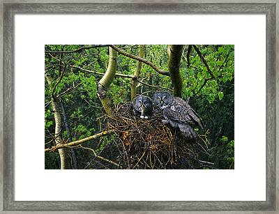 Great Gray Owls,  Male Has Brought Framed Print