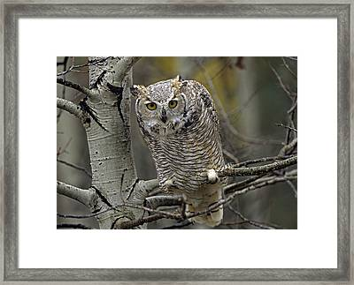 Great Horned Owl Pale Form Kootenays Framed Print by Tim Fitzharris