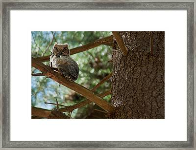 Great Horned Owlet Framed Print by Ron Smith