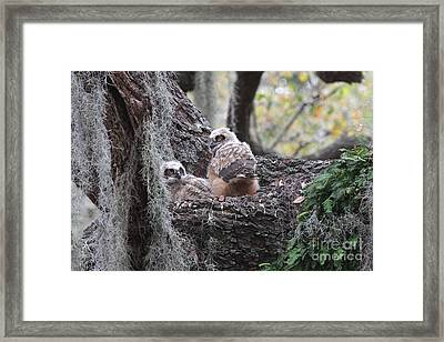 Great Horned Owlets Framed Print by Jennifer Zelik