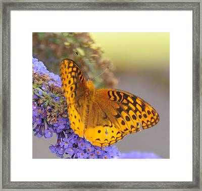 Great Spangled Fritillary Butterfly Framed Print by Paul Ward