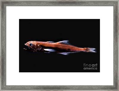 Great Swallower Framed Print