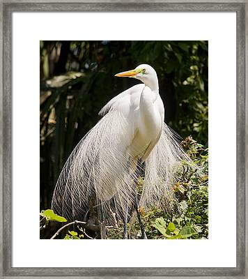 Great White Egret 2 Framed Print